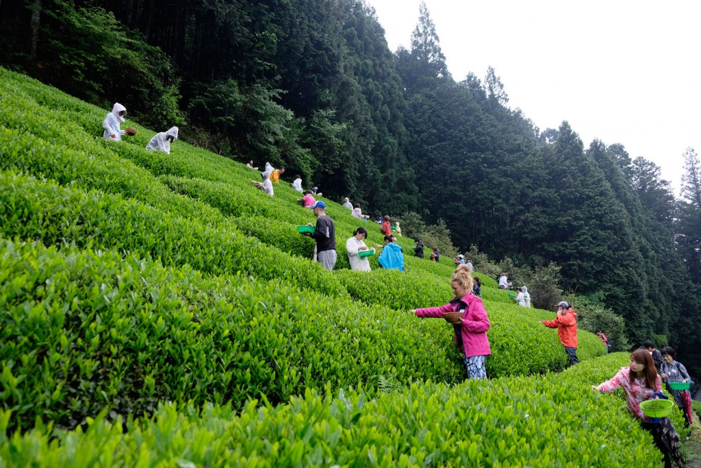 Competition-tea-picking