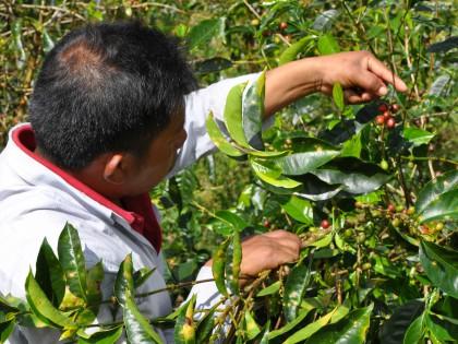 Koffie plukken in Panama