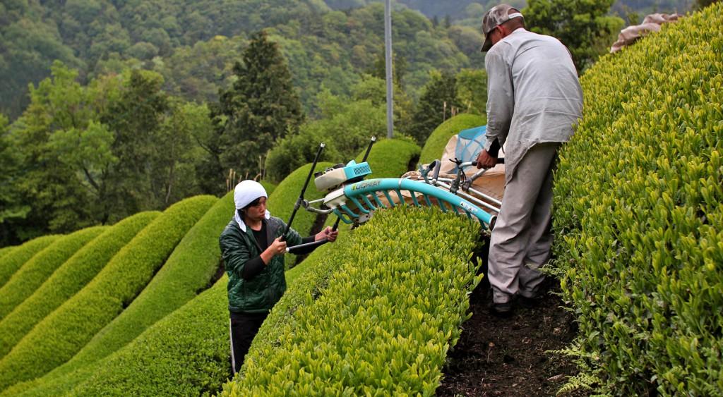 Tea-farming---machine-harvesting-2