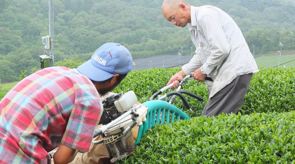 Tea-farming---machine-harvesting