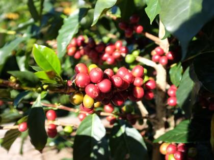 Koffiebessen Costa Rica