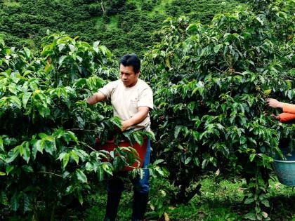 Koffiebes plukkers Finca Lerida, Panama