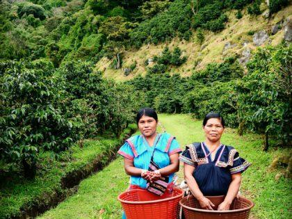 Koffieplukkers Panama