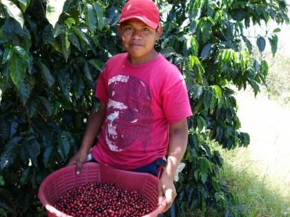 Koffiebesplukker Panama