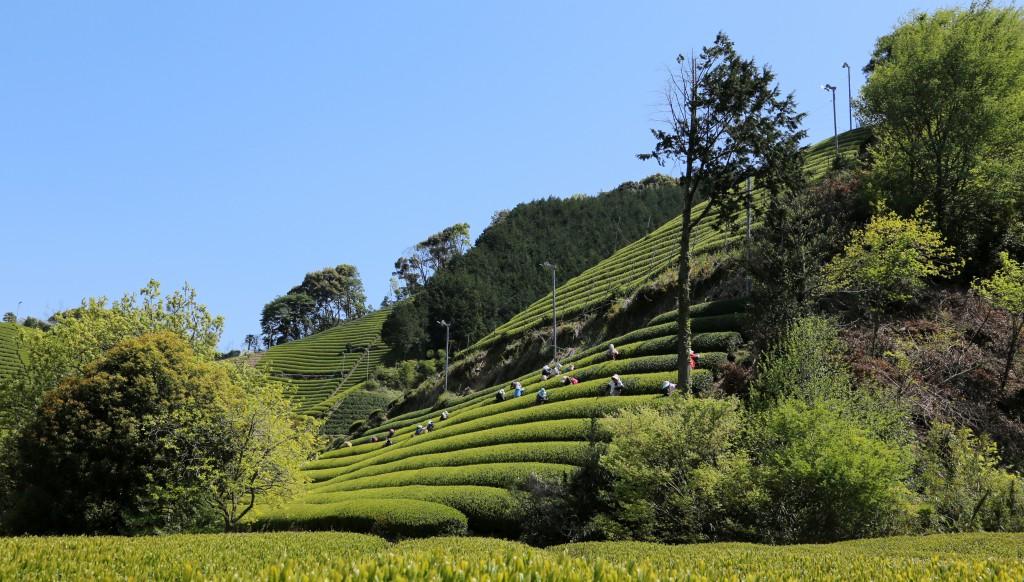 8.Hon Yama theeplantage