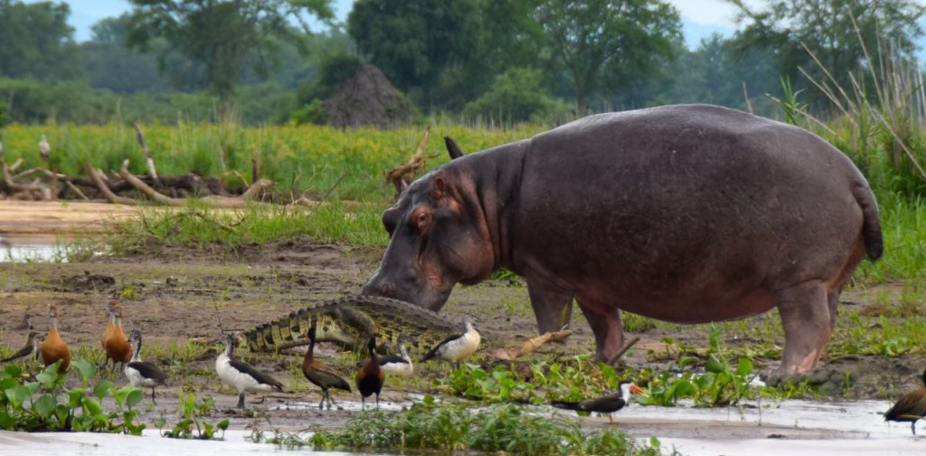 Liwonde-National-Park-Shire-River-Hippo-and-Croc
