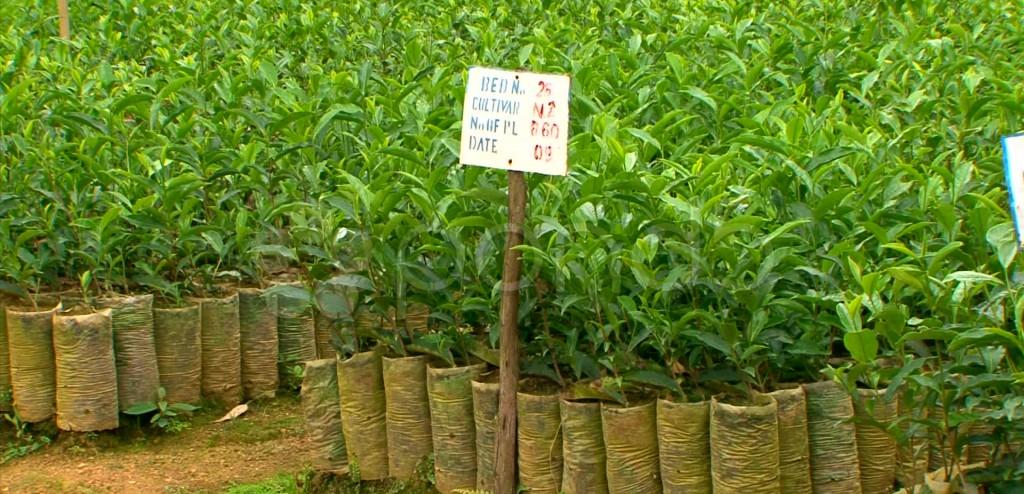cultivar Lujeri